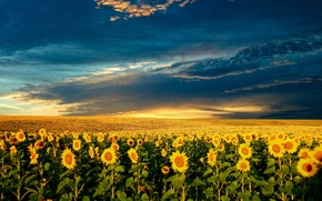 Picture summer, the sun, nature, sunflower