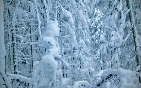 Picture pine, snow, snow, tree, winter, pine, trees, tree, ate, forest, winter