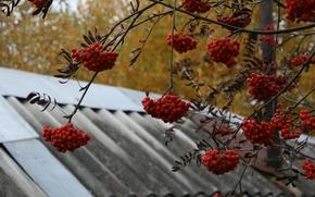 Wallpaper autumn, nature, background, tree, Wallpaper, village, Rowan