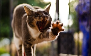 Picture cat, pose, paw, yawns