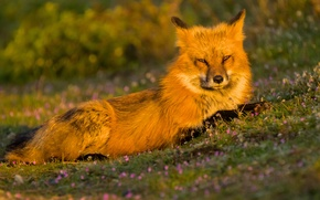 Picture look, Fox, red, flowers