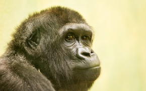 Picture look, nature, monkey, Gorilla
