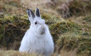 Picture grass, nature, hare