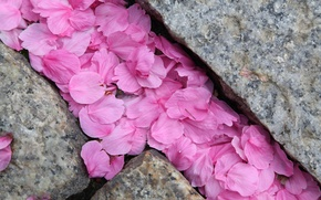 Wallpaper macro, stones, petals, Sakura