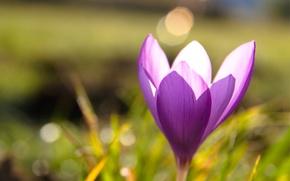 Picture grass, macro, glare, lilac, spring, blur, Krokus