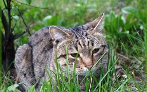 Picture cat, grass, cat, lies, looks, green background