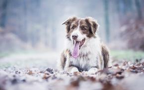 Picture autumn, language, leaves, dog, Australian shepherd, Aussie