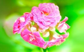 Wallpaper macro, pink, green, Kalanchoe