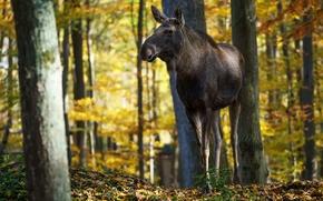 Picture autumn, nature, moose