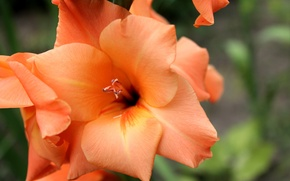 Picture greens, flower, macro, flowers, orange, background, tenderness, plant, plants, gladiolus