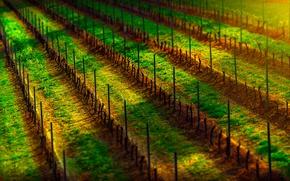 Picture twilight, sunset, wine, dusk, grapes, shadows, sunlight, vineyard