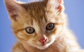 Picture look, muzzle, ginger kitten