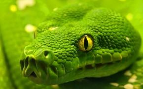 Wallpaper snake, macro, eyes