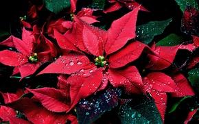 Picture drops, plant, Poinsettia