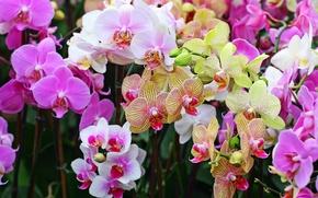 Picture flower, flowers, nature, bouquet, orchids, Orchid, Phalaenopsis