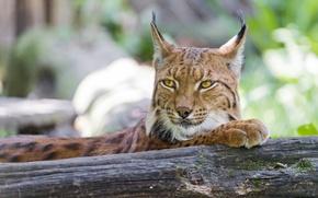 Picture cat, face, log, lynx, ©Tambako The Jaguar