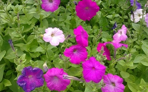 Picture summer, flowers, morning, June, Petunia