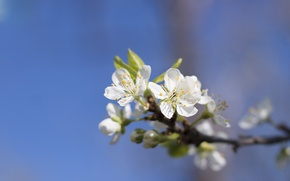 Picture the sky, trees, flowers, nature, plants, spring, apricot, flowers apricot