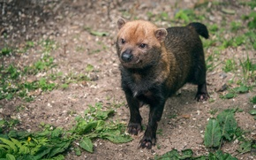 Picture brushwood dog, a carnivorous mammal, Forest dog