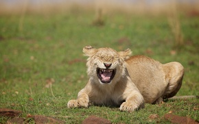 Picture lioness, laughter, wild cat