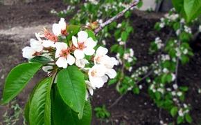 Picture landscape, flowers, tree, beauty, apricot