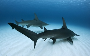Picture sea, fish, Great Hammerhead Shark
