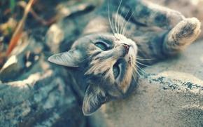 Picture cat, eyes, cat, mustache, look, light, grey, green, lies