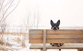 Picture look, ears, bench, dog