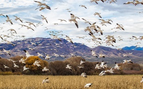 Picture NATURE, The SKY, FIELD, FLIGHT, PACK, BIRDS, GOOSE, DUCK