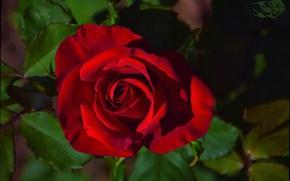 Picture Bokeh, Bokeh, Red rose, Red rose