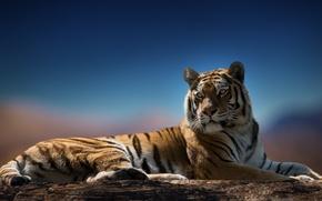 Picture look, tiger, predator, color