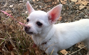 Picture animals, dogs, Chihuahua