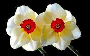 Picture macro, paint, petals, Narcissus