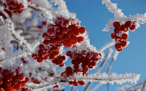 Wallpaper frost, snow, branches, berries, Macro
