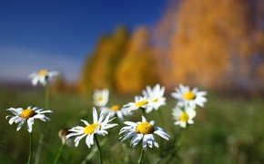 Picture field, flowers, background, chamomile