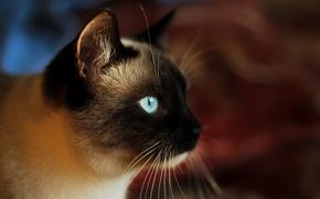 Picture cat, look, face, Siamese cat