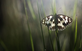Picture grass, macro, butterfly, insect, Wallpaper from lolita777