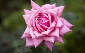 Picture macro, background, rose, petals