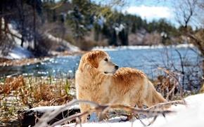 Picture nature, dog, Retriever