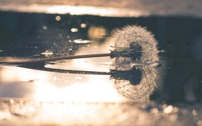 Picture background, dandelion, puddle