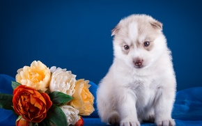 Picture flowers, puppy, husky