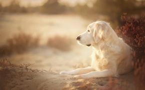 Picture sand, dog, Golden Retriever, Golden Retriever