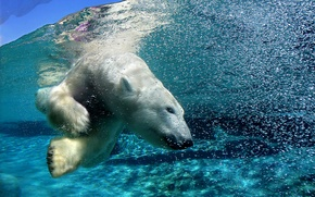Picture bear, Arctic, under water