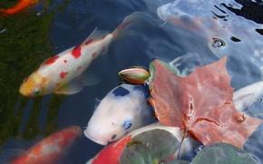 Picture leaves, water, Japan, carp, koi