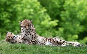 Wallpaper greens, grass, cats, stay, predators, pair, wild, lying, cheetahs