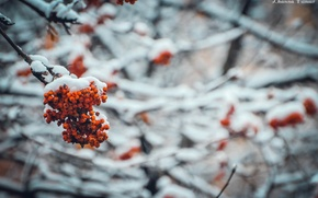 Picture cold, winter, snow, trees, Rowan