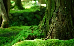 Picture greens, forest, summer, tree, moss, bark