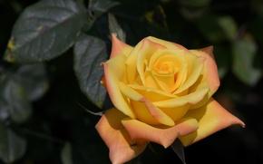 Picture macro, rose, Bud