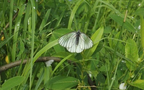 Picture grass, insects, Butterfly