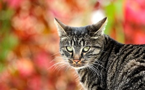 Picture cat, cat, look, grey, background, striped